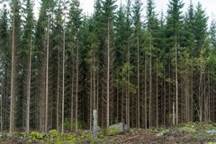 Growing spruce tree forest. By a clear cut forest area royalty free stock images