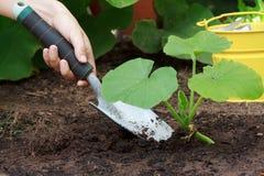 Growing (Squash) Plants Royalty Free Stock Photos
