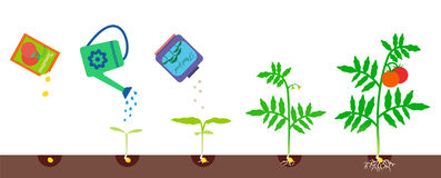 Growing stages. Gardening vector illustration. Vector illustration of plant growth. Tomato growing stages. Gardening process Stock Photography