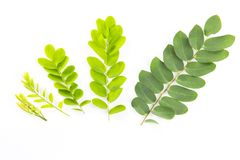 Growing stages of leaves. Stock Photos