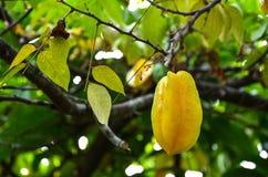 Growing starfruit Royalty Free Stock Image