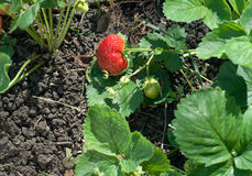 Growing strawberries Royalty Free Stock Photography