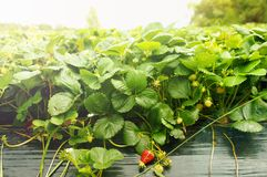 Growing Strawberries Royalty Free Stock Images