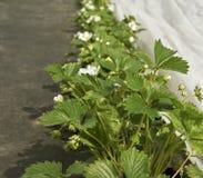 Growing strawberries. Royalty Free Stock Image