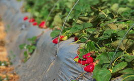 Growing Strawberries on a farm Royalty Free Stock Photos