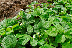 Growing strawberries. Royalty Free Stock Photography