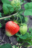 Growing strawberries in garden. Raw red berry macro view. shallow depth of field, soft focus Stock Photos