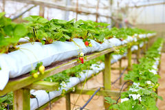 Growing strawberries in greenhouse Stock Images