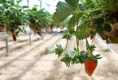 Growing strawberries in greenhouses Royalty Free Stock Images