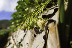 A growing of a strawberries. A growing of a raw strawberries in the farm Stock Images