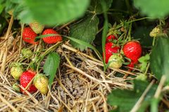 Growing strawberries, straw on the ground, leaves and fruits - s. Ome of them ripe red, some still unripe royalty free stock photo
