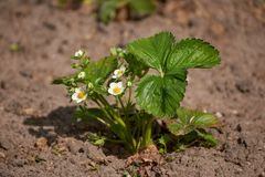 Strawberry plant. Growing strawberry plant royalty free stock images