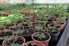 Growing strawberry in plastic pots in greenhouse stock photos