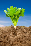 Growing sugar beet Royalty Free Stock Images