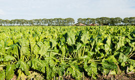 Growing sugar beet plants in late afternoon sunlight. Stock Photography