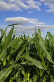Growing Summer corn. Royalty Free Stock Image