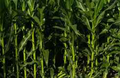 Growing Summer corn. Royalty Free Stock Photo