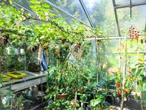 Growing summer vegetables and fruit in a private greenhouse. Growing summer vegetables and fruit like grapes and tomatoes in a private greenhouse Stock Images