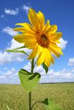 The growing sunflower Royalty Free Stock Image