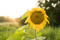 Growing Sunflower. Sunflowers blooming. A beautiful sunflower field. royalty free stock photo