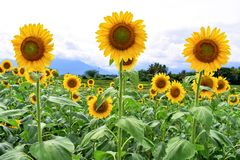 Growing Sunflowers in a field stock photos