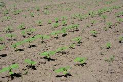 Growing sunflowers field stock image