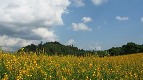 Growing the Sunn hemp or Crotalaria juncea stock footage