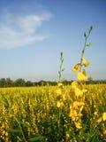 Growing the Sunn hemp in the field Stock Photos