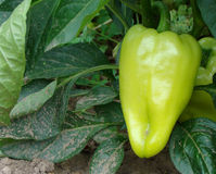Growing sweet pepper on the field Royalty Free Stock Photo