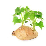 Growing sweet  potato with shoots on white background Royalty Free Stock Image