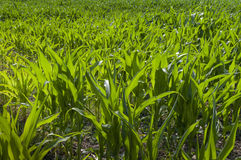 Growing sweetcorn. Young sweetcorn plants growing in field Stock Image