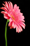 Growing Tall. Bright pink gerber daisy against a black background stock image