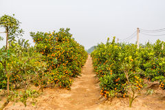 Growing Tangerines Royalty Free Stock Photo