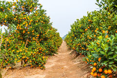 Growing Tangerines Royalty Free Stock Images