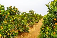 Growing Tangerines Stock Image