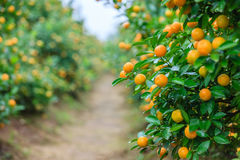 Growing Tangerines Royalty Free Stock Photos