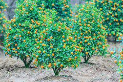 Growing Tangerines Stock Photos