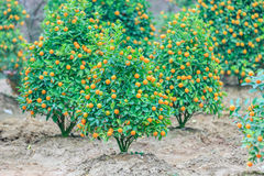 Growing Tangerines Stock Image