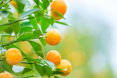 Growing Tangerines Royalty Free Stock Image
