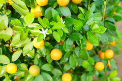 Growing Tangerines Stock Photography
