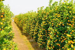 Growing Tangerines Royalty Free Stock Image
