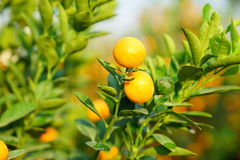 Growing Tangerines Stock Photo