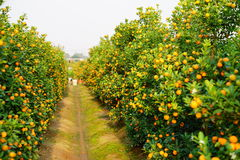 Growing Tangerines Royalty Free Stock Photo