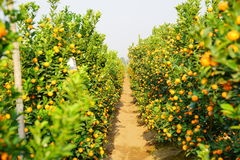 Growing Tangerines Stock Images