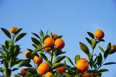 Growing Tangerines Stock Photos