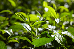 Growing Tea Leaves Royalty Free Stock Photo
