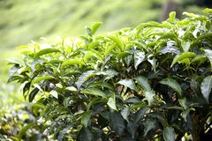 Growing Tea Leaves Stock Photography