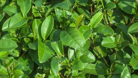 Growing tea leaves close up stock video
