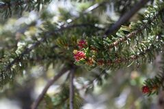 Free Growing Tip Of Bristlecone Pine Tree With Red Buds Royalty Free Stock Image - 169560116