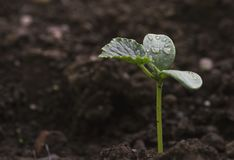 Growing to power. A cucumber plant growing out of a tiny seed, fighting for its place under the sun Stock Images